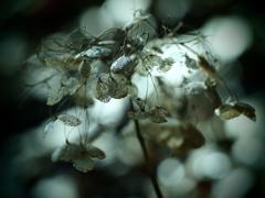 静かな崩壊  ~枯れ紫陽花~