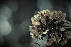 優しい光 ~枯れ紫陽花~