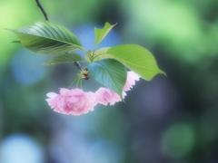 夢色八重桜~其の弐