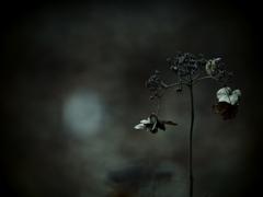 幽寂 ~枯れ紫陽花~