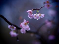 秋の桜・雨に濡れて