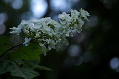 零れる光球 ~柏葉紫陽花~