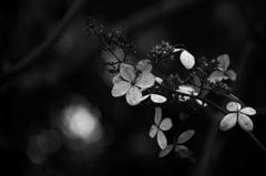 枯れ華 ③ ~枯れ紫陽花~