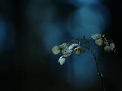 うつろい  ~枯れ紫陽花~