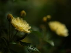 柔らかな光の下で ~木香薔薇~