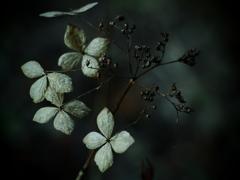 哀の花・咲く ~枯れ紫陽花~
