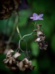 残花 ~枯れ紫陽花~