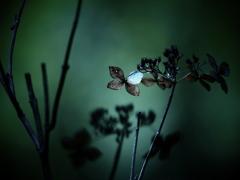 光あれば影あり ② ~枯れ紫陽花~