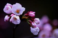 艶 -Cherry blossom-