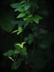 怪しの葉陰