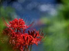 雨降り花 アメフリバナ