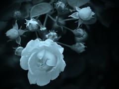 モノトーンの記憶 - 過ぎし日の薔薇 -  ⑧
