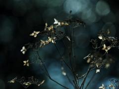 花の記憶 ~枯れ紫陽花~ 其の四
