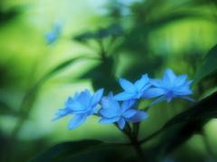 水色七段花