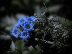 蒼の花 ~筆竜胆~