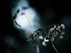 枯美  ~枯れ紫陽花~