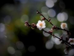 梅香る春 ①