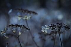 花の記憶 ~枯れ紫陽花~ 其の参