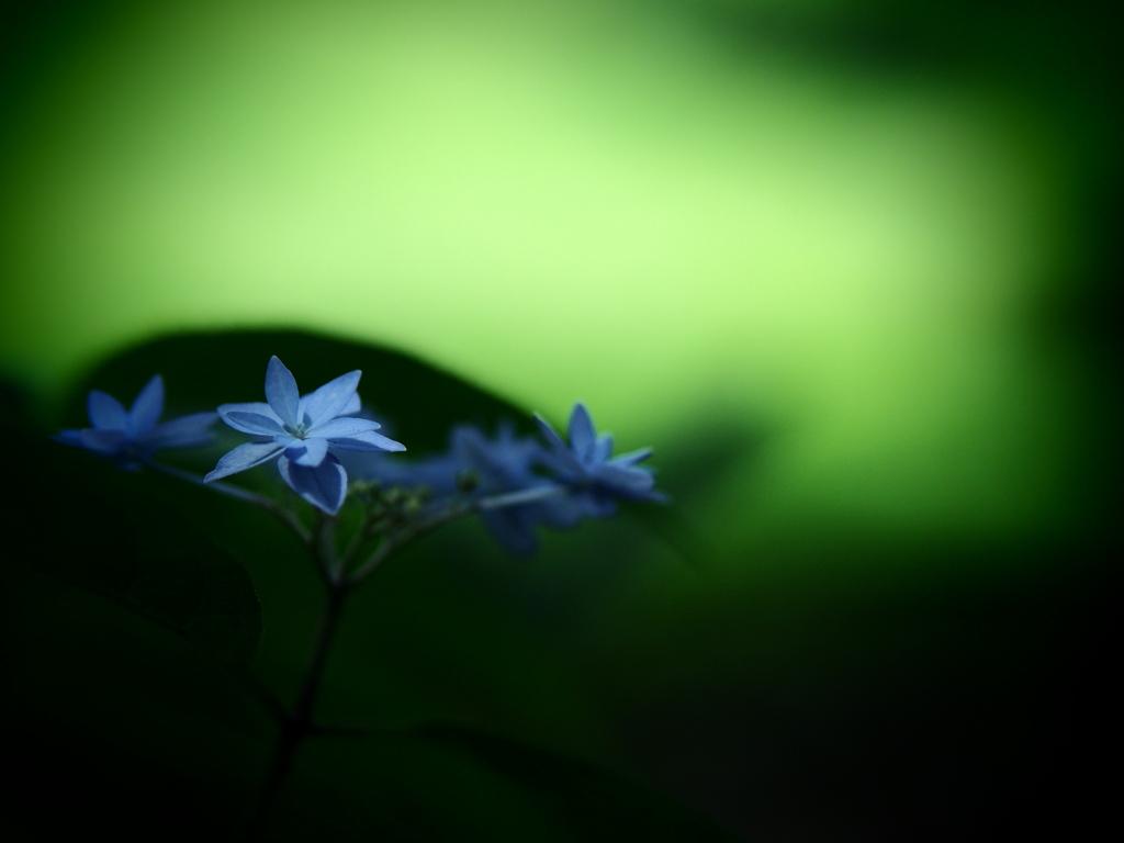 六月の青い星☆彡 - 七段花 -  ①