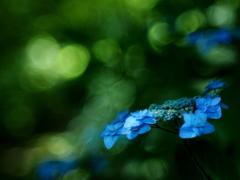 紫陽花  -へんてこレンズで撮ってみる①-