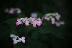 calm afternoon ~山紫陽花~