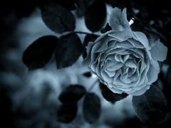 モノトーンの記憶 - 過ぎし日の薔薇 -  ④