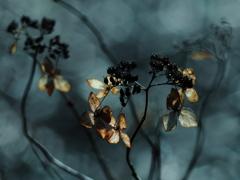 TAKUMARで撮る枯れ紫陽花 ①