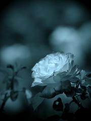 モノトーンの記憶 - 過ぎし日の薔薇 -  ⑤
