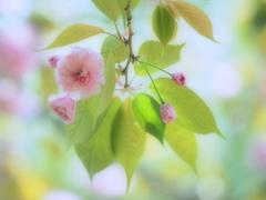 春色スケッチ ③ ~八重桜~