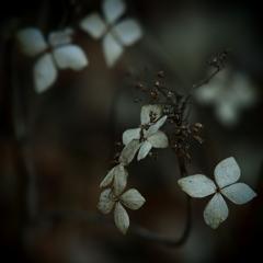 花の記憶 ~枯れ紫陽花~ 其の十三
