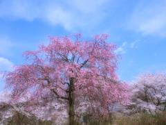 四月の空の下 - 枝垂桜 -