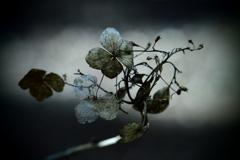 渇きの森 ~枯れ紫陽花~