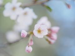 桜日和  ⑦