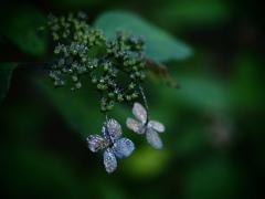 蒼の記憶  ~枯れ紫陽花~