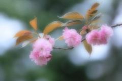 愛シ君ハ桜色 ~八重桜~