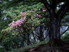 ヤマツツジの森  ②