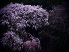 幽玄 -枝垂桜-