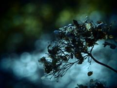壊れた記憶  ~枯れ紫陽花~