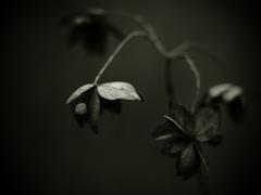 思い出の断片 ~枯れ紫陽花~