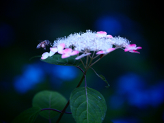 Honeybee  ~赤と青のおもてなし~