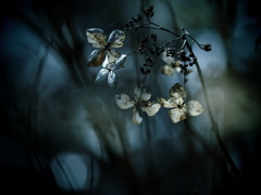花の記憶 ~枯れ紫陽花~ 其の七