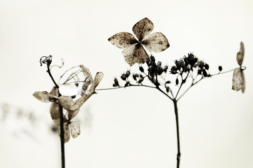 憂愁の枯れ紫陽花