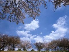 四月の空の下 - 桜吹雪 -