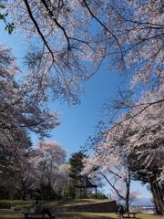 桜日和  ④
