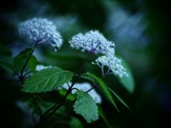 小さき者たちの囁き  - 小紫陽花 -  ①