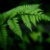 シダ -安息の緑-