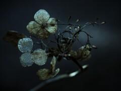 変貌 ~枯れ紫陽花~