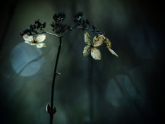 TAKUMARで撮る枯れ紫陽花  ②