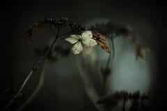 渇きの森 其の弐 ~枯れ紫陽花~