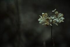 渇きの森 其の参 ~枯れ紫陽花~